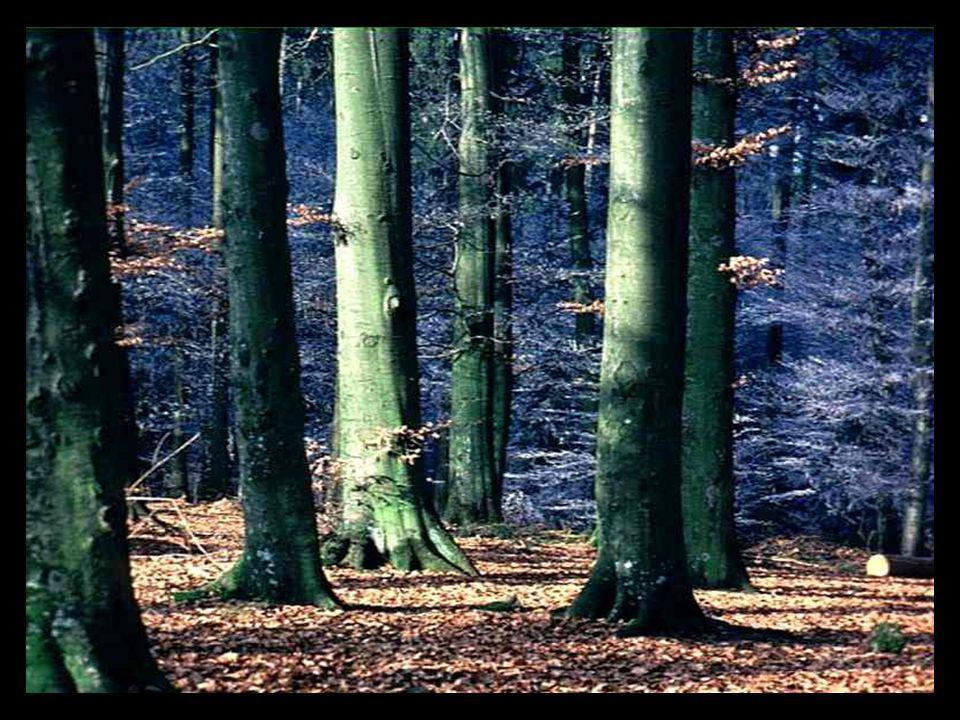 Bäume sind Heiligtümer. (Árvores são sagradas.) Wer ihnen zuzuhören weiß, der erfährt die Wahrheit. (Quem sabe ouvi-las descobre a verdade.) Hermann H