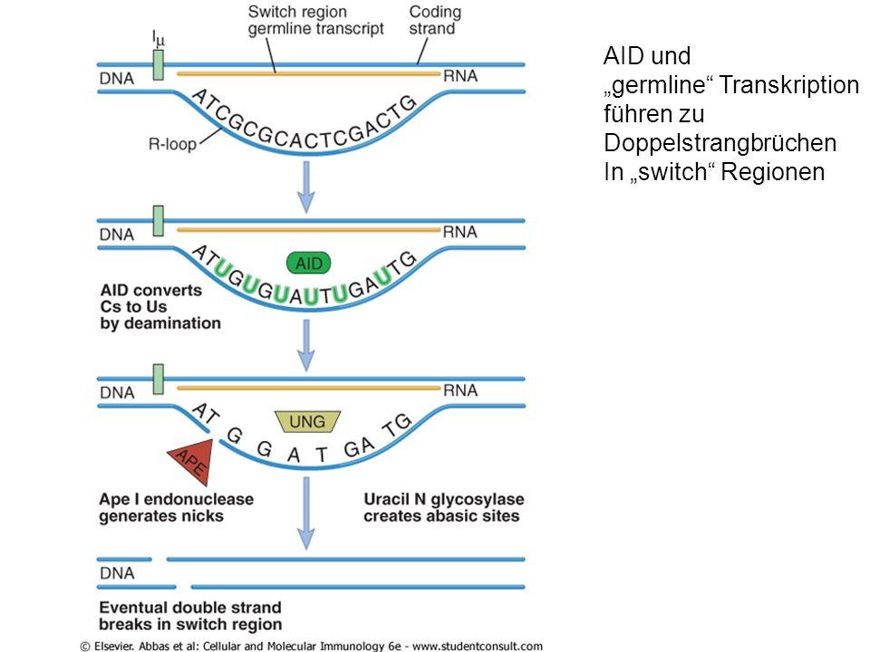 AID und germline Transkription führen zu Doppelstrangbrüchen In switch Regionen