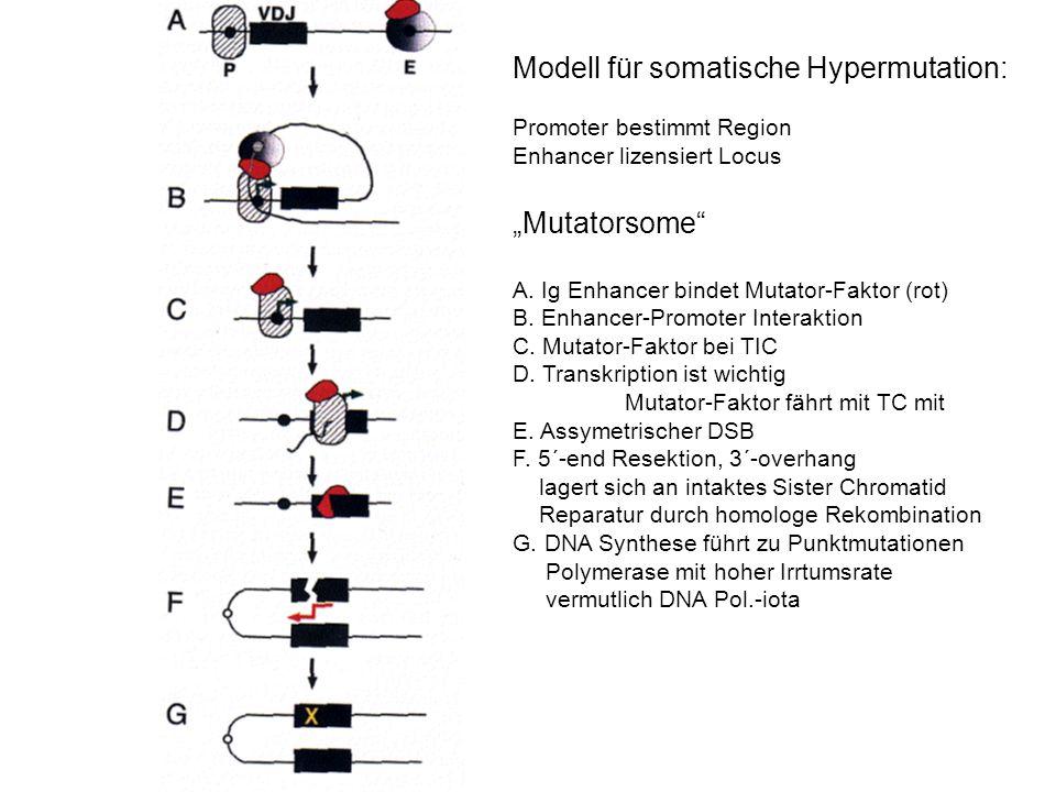 Modell für somatische Hypermutation: Promoter bestimmt Region Enhancer lizensiert Locus Mutatorsome A. Ig Enhancer bindet Mutator-Faktor (rot) B. Enha