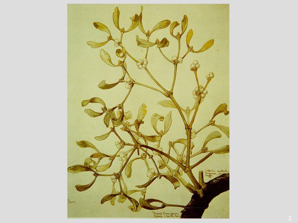 13 Wirtsbaum