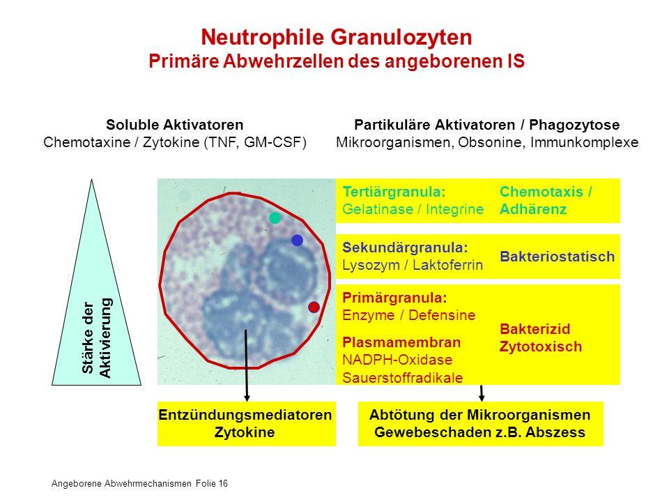 Angeborene Abwehrmechanismen Folie 16 Neutrophile Granulozyten Primäre Abwehrzellen des angeborenen IS Tertiärgranula: Gelatinase / Integrine Chemotax