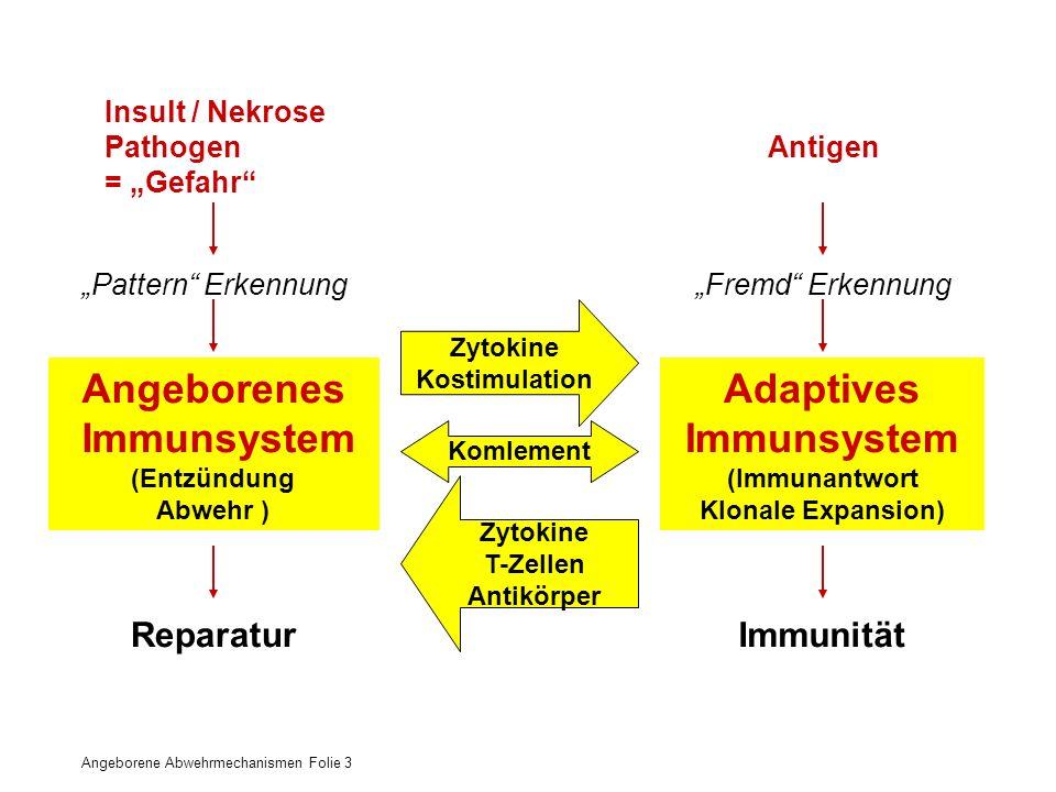 Angeborene Abwehrmechanismen Folie 3 Angeborenes – Adaptives Immunsystem Adaptives Immunsystem (Immunantwort Klonale Expansion) Angeborenes Immunsyste