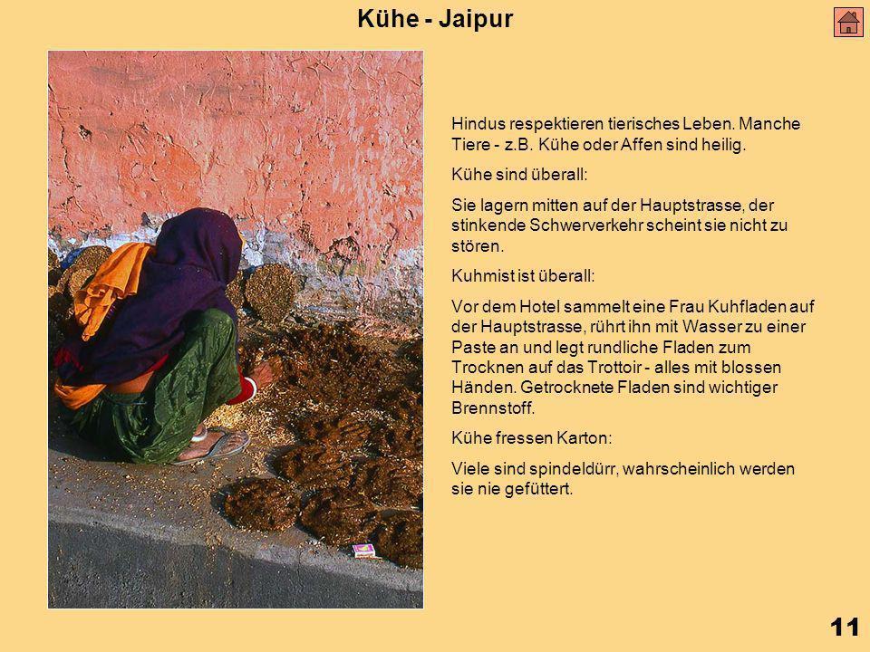 11 Kühe - Jaipur Hindus respektieren tierisches Leben.