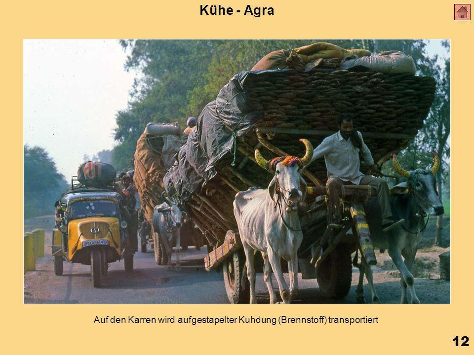 12 Kühe - Agra Auf den Karren wird aufgestapelter Kuhdung (Brennstoff) transportiert