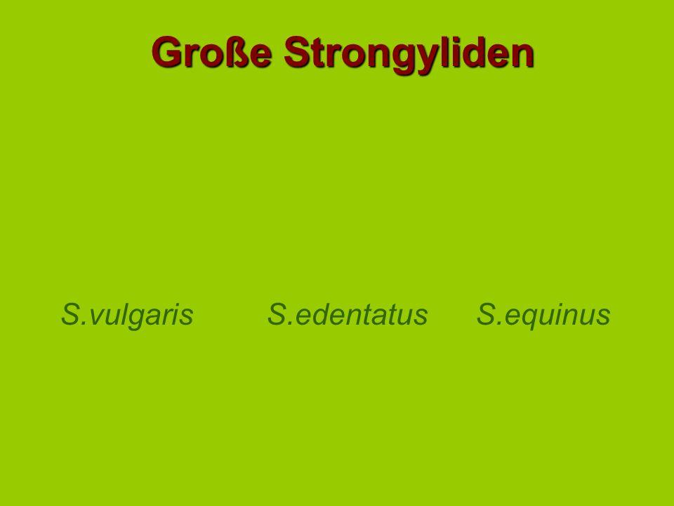 Große Strongyliden S.vulgaris S.edentatus S.equinus H=Hatch, M=Mould
