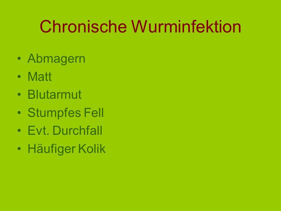 Cyathostominae im Colon CyathostominoseCyathostominose (Darmwandschädigung von Cyath) Sommerzyklus 6 Wochen Winterzyklus: Inhibition in der Darmwand