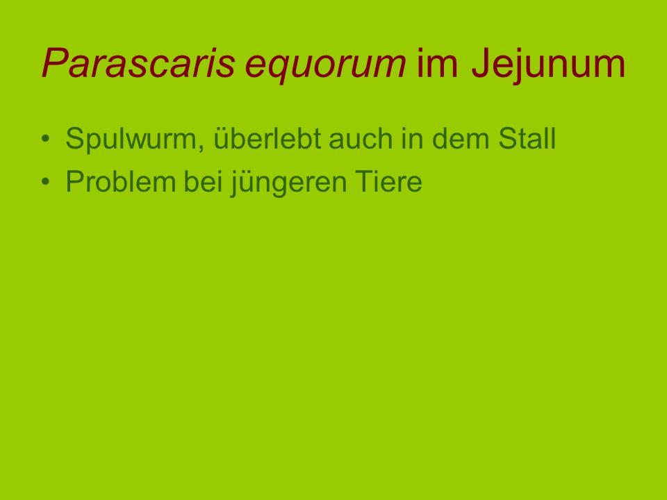 Parascaris equorum im Jejunum Spulwurm, überlebt auch in dem Stall Problem bei jüngeren Tiere
