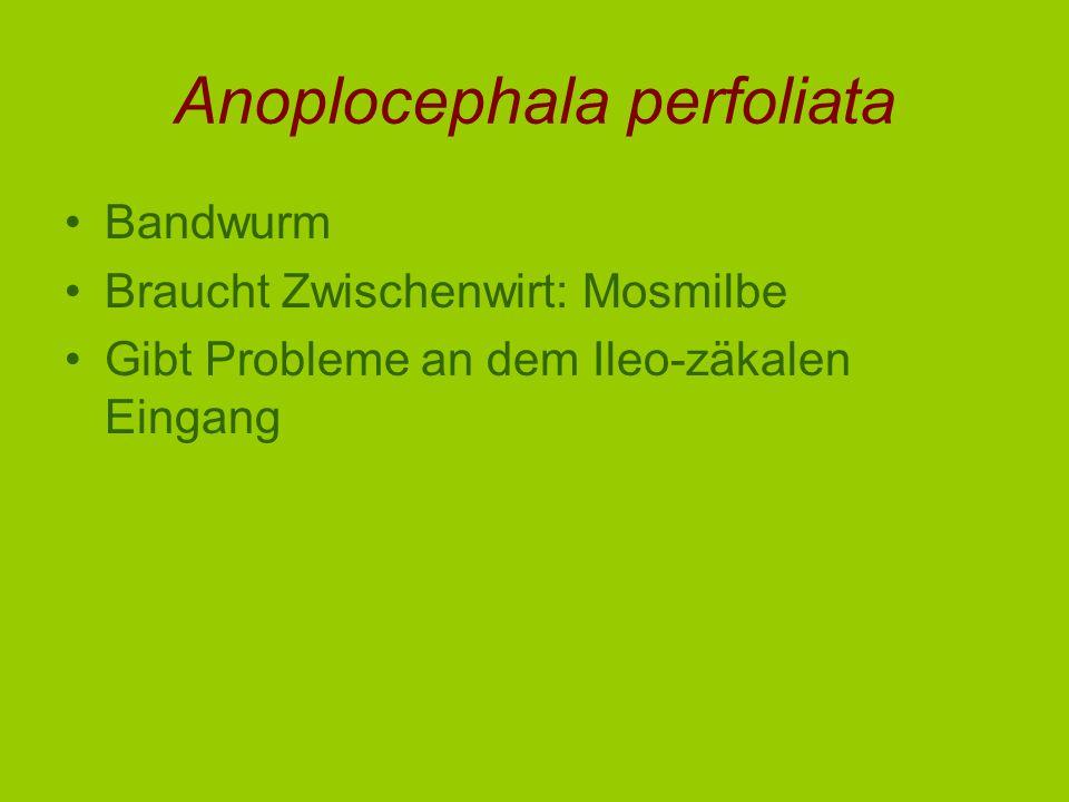 Anoplocephala perfoliata Bandwurm Braucht Zwischenwirt: Mosmilbe Gibt Probleme an dem Ileo-zäkalen Eingang