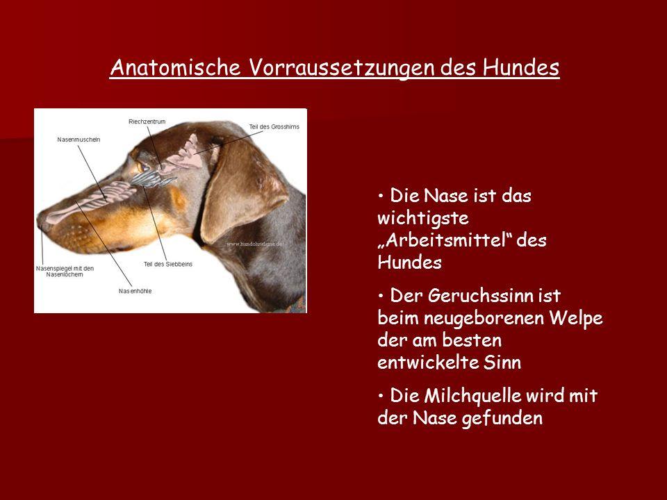 Anatomische Vorraussetzungen des Hundes Die Nase ist das wichtigste Arbeitsmittel des Hundes Der Geruchssinn ist beim neugeborenen Welpe der am besten entwickelte Sinn Die Milchquelle wird mit der Nase gefunden