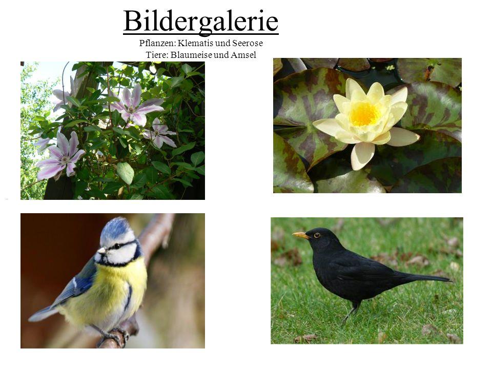 Bildergalerie Pflanzen: Klematis und Seerose Tiere: Blaumeise und Amsel
