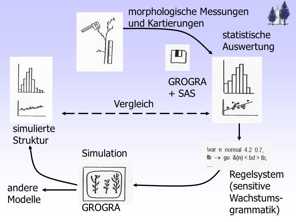 Vergleich andere Modelle Simulation GROGRA Regelsystem (sensitive Wachstums- grammatik) GROGRA + SAS statistische Auswertung morphologische Messungen und Kartierungen simulierte Struktur