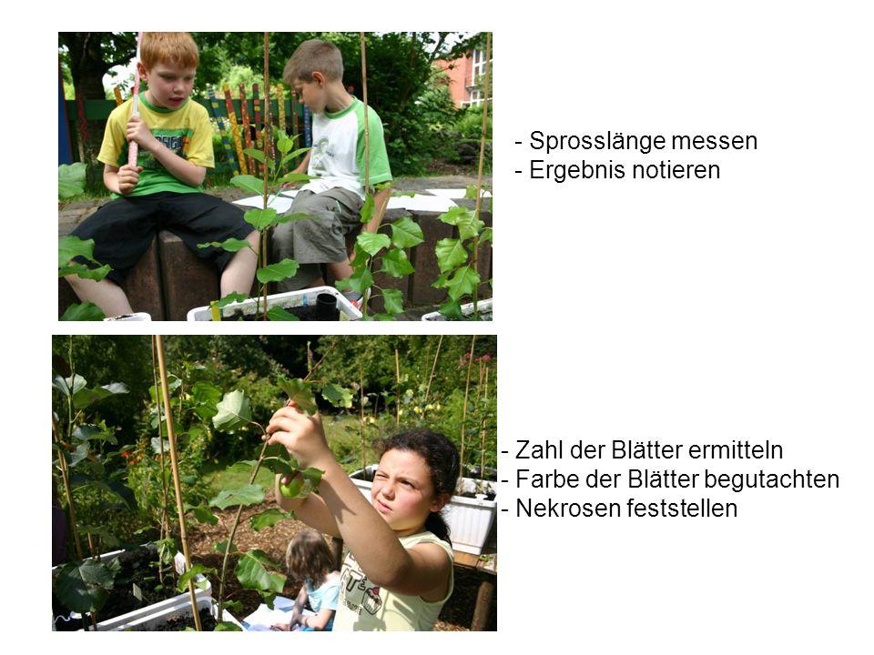 - Zahl der Blätter ermitteln - Farbe der Blätter begutachten - Nekrosen feststellen - Sprosslänge messen - Ergebnis notieren