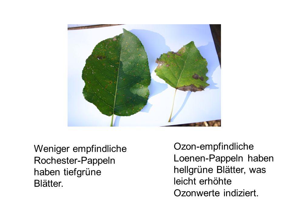 Ozon-empfindliche Loenen-Pappeln haben hellgrüne Blätter, was leicht erhöhte Ozonwerte indiziert. Weniger empfindliche Rochester-Pappeln haben tiefgrü