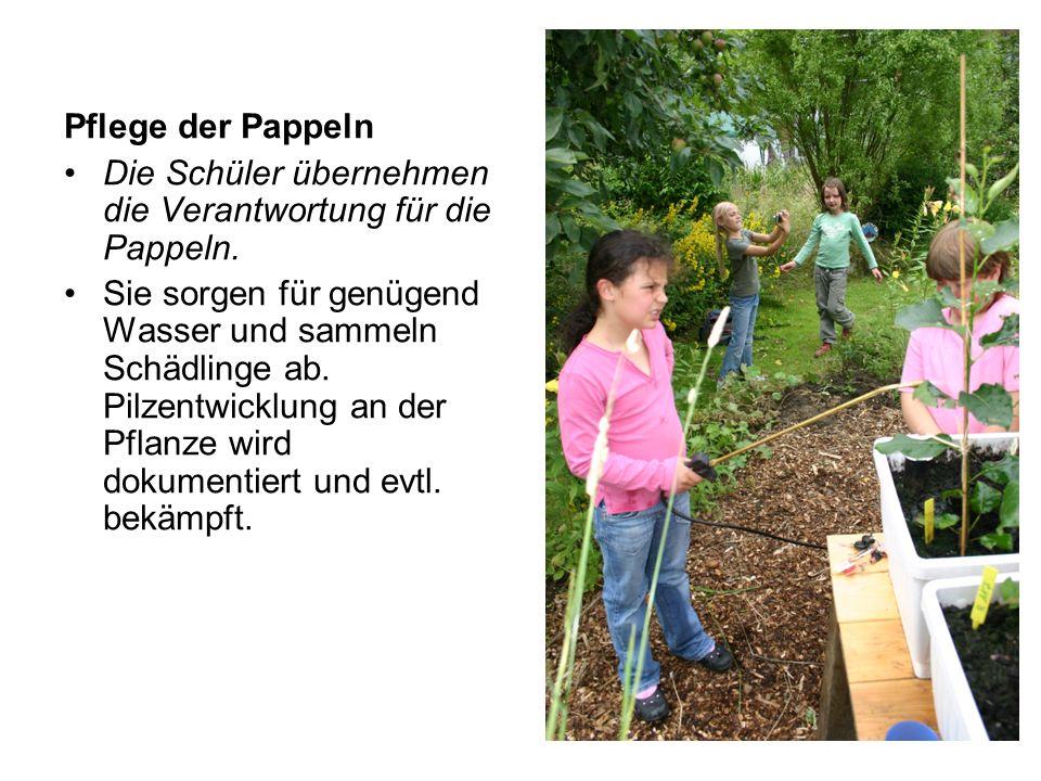 Pflege der Pappeln Die Schüler übernehmen die Verantwortung für die Pappeln. Sie sorgen für genügend Wasser und sammeln Schädlinge ab. Pilzentwicklung