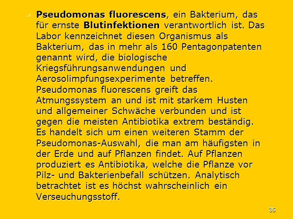 35 Pseudomonas fluorescens, ein Bakterium, das für ernste Blutinfektionen verantwortlich ist. Das Labor kennzeichnet diesen Organismus als Bakterium,