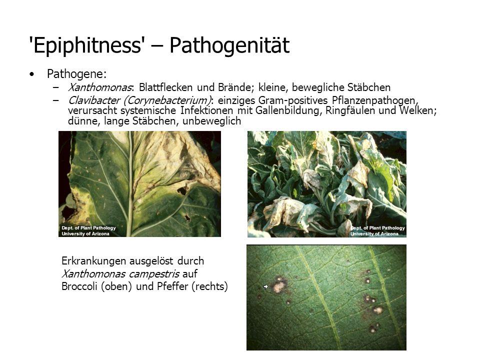 Pathogene: –Xanthomonas: Blattflecken und Brände; kleine, bewegliche Stäbchen –Clavibacter (Corynebacterium): einziges Gram-positives Pflanzenpathogen, verursacht systemische Infektionen mit Gallenbildung, Ringfäulen und Welken; dünne, lange Stäbchen, unbeweglich Epiphitness – Pathogenität Erkrankungen ausgelöst durch Xanthomonas campestris auf Broccoli (oben) und Pfeffer (rechts)