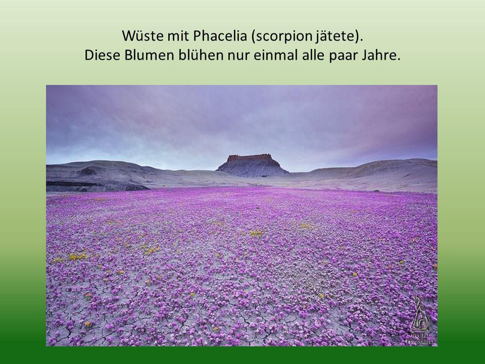 Wüste mit Phacelia (scorpion jätete). Diese Blumen blühen nur einmal alle paar Jahre.