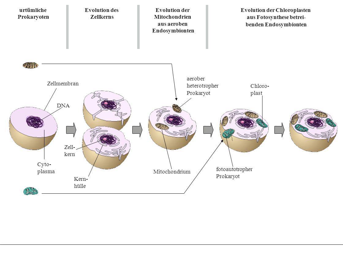 Evolution der Chloroplasten aus Fotosynthese betrei- benden Endosymbionten Evolution der Chloroplasten aus Fotosynthese betrei- benden Endosymbionten
