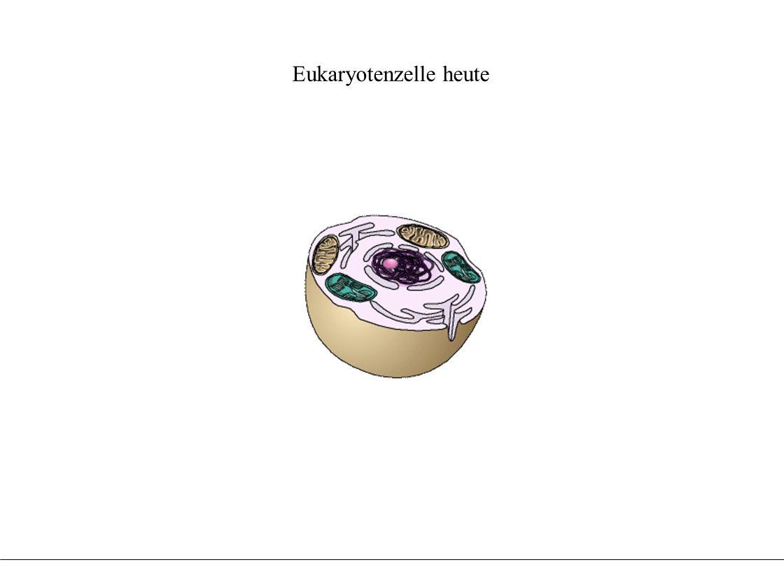 Evolution der Chloroplasten aus Fotosynthese betrei- benden Endosymbionten Evolution der Chloroplasten aus Fotosynthese betrei- benden Endosymbionten urtümliche Prokaryoten - vor 3 Milliarden Jahren DNA Zellmembran Cytoplasma
