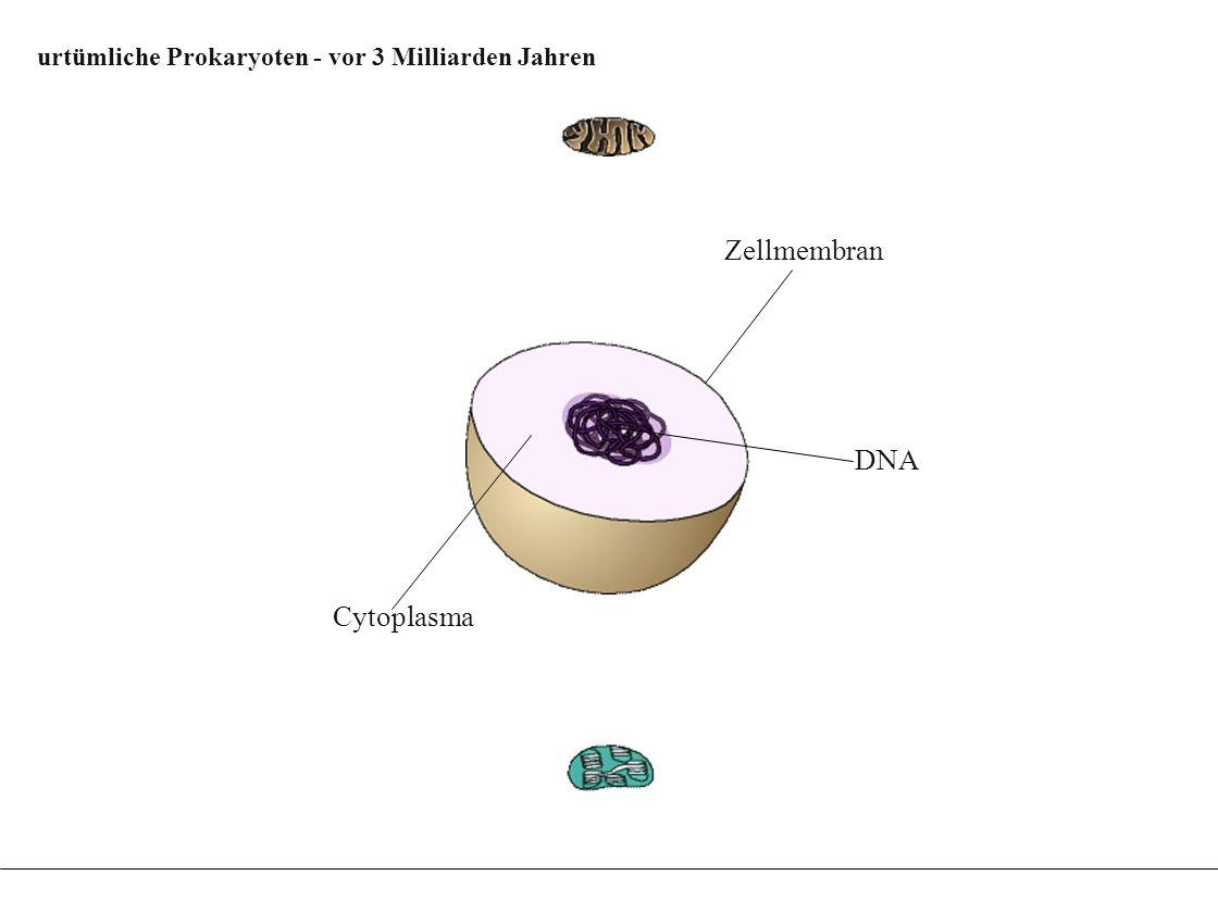Evolution der Chloroplasten aus Fotosynthese betrei- benden Endosymbionten Evolution der Chloroplasten aus Fotosynthese betrei- benden Endosymbionten DNA Zellmembran Cytoplasma Einstülpung der Zellmembran