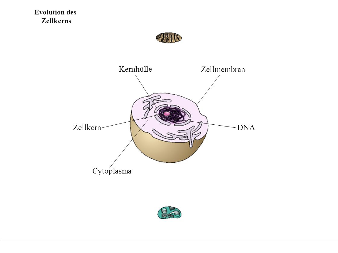 Evolution der Chloroplasten aus Fotosynthese betrei- benden Endosymbionten Evolution der Chloroplasten aus Fotosynthese betrei- benden Endosymbionten Evolution der Mitochondrien aus aeroben Endosymbionten aerober Prokaryot