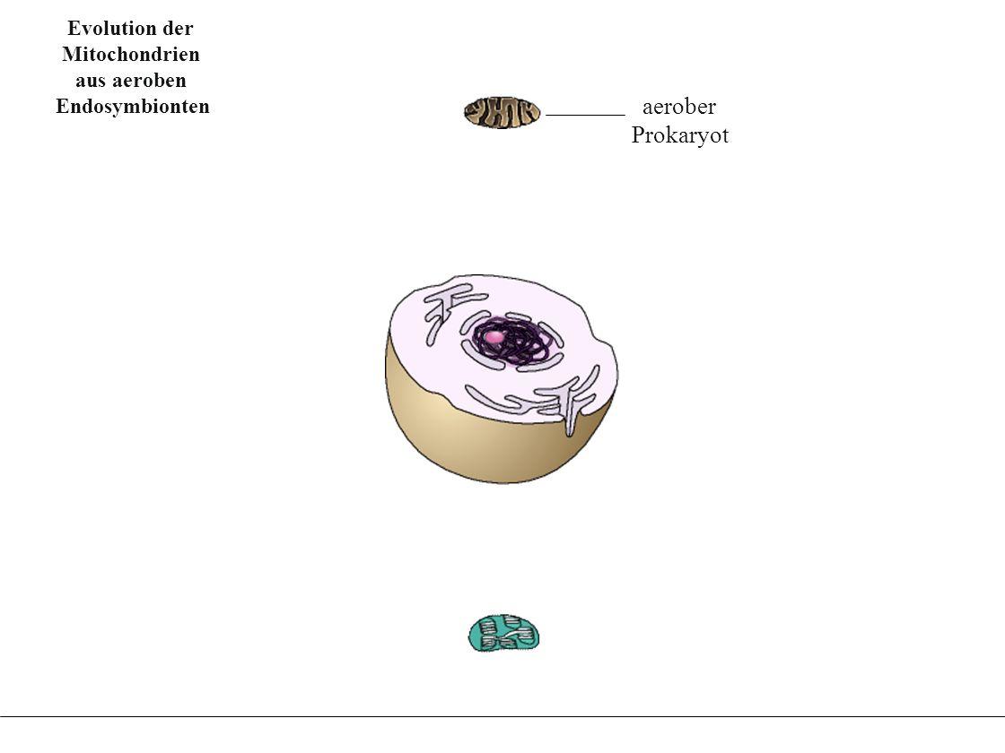 Evolution der Chloroplasten aus Fotosynthese betrei- benden Endosymbionten Evolution der Chloroplasten aus Fotosynthese betrei- benden Endosymbionten Mitochondrium aerober heterotropher Prokaryot Evolution der Mitochondrien aus aeroben Endosymbionten