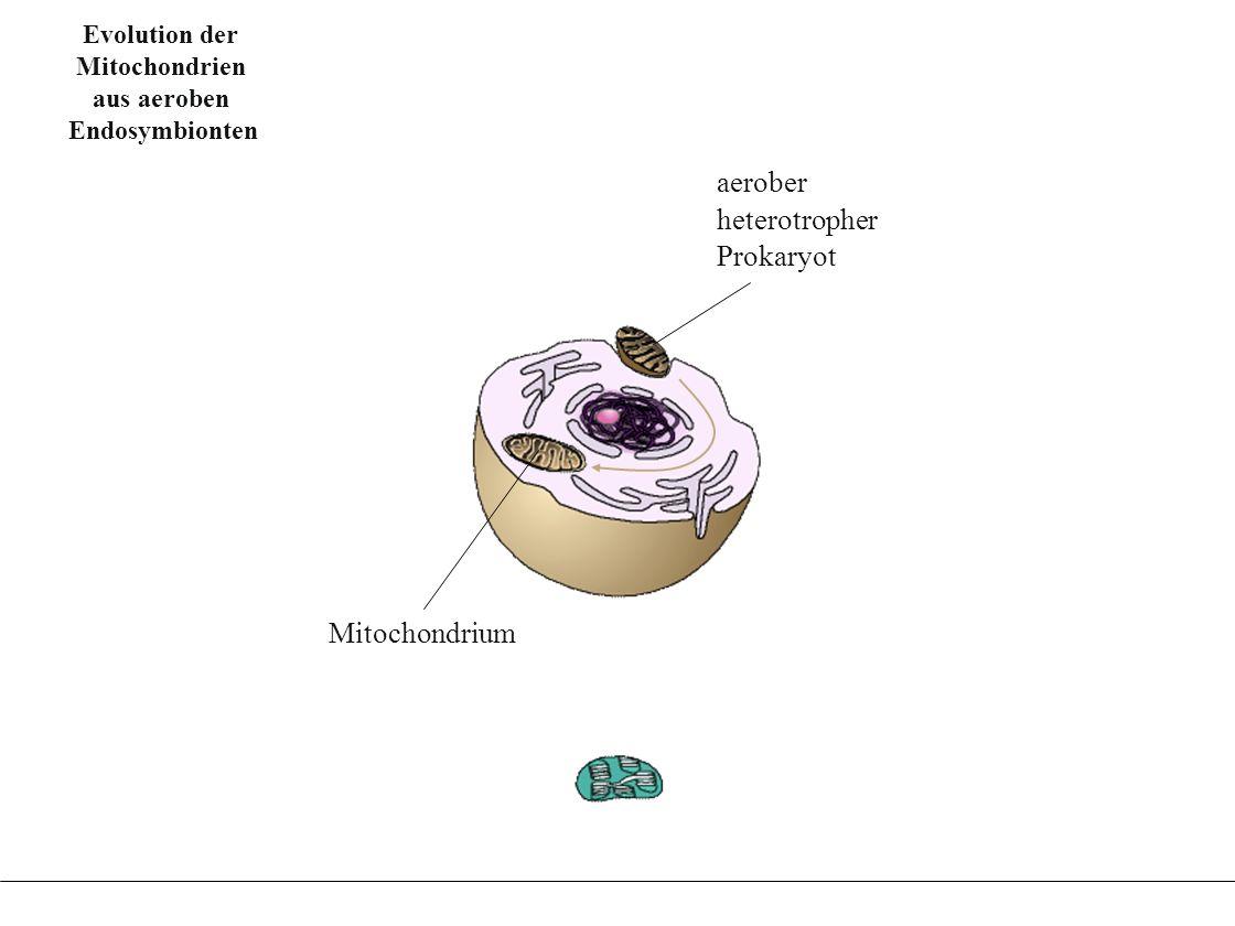 Evolution der Chloroplasten aus Fotosynthese betrei- benden Endosymbionten Evolution der Chloroplasten aus Fotosynthese betrei- benden Endosymbionten Evolution der Chloroplasten aus Fotosynthese betreibenden Endosymbionten fototropher Prokaryot