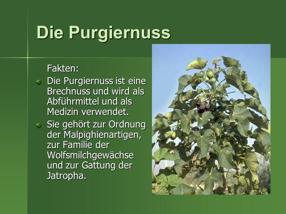 Die Purgiernuss Fakten: Die Purgiernuss ist eine Brechnuss und wird als Abführmittel und als Medizin verwendet. Sie gehört zur Ordnung der Malpighiena