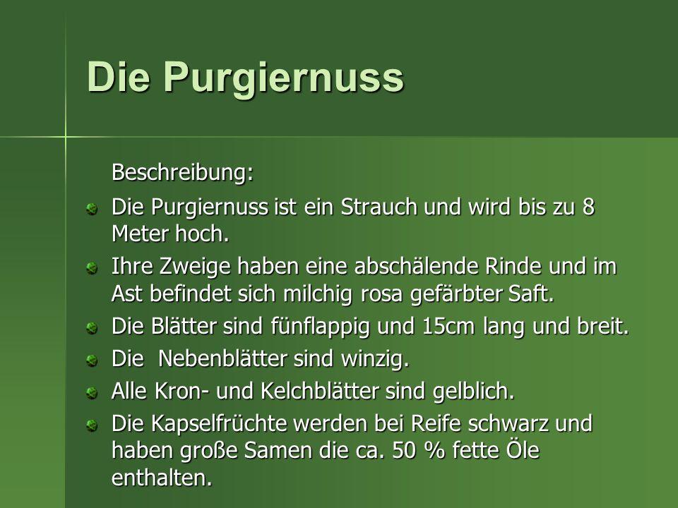 Die Purgiernuss Beschreibung: Die Purgiernuss ist ein Strauch und wird bis zu 8 Meter hoch. Ihre Zweige haben eine abschälende Rinde und im Ast befind