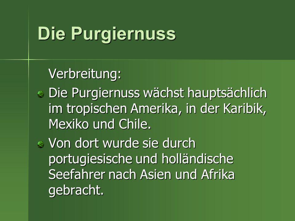 Die Purgiernuss Verbreitung: Die Purgiernuss wächst hauptsächlich im tropischen Amerika, in der Karibik, Mexiko und Chile. Von dort wurde sie durch po