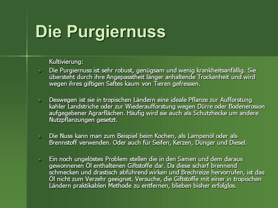 Die Purgiernuss Kultivierung: Die Purgiernuss ist sehr robust, genügsam und wenig krankheitsanfällig. Sie übersteht durch ihre Angepasstheit länger an