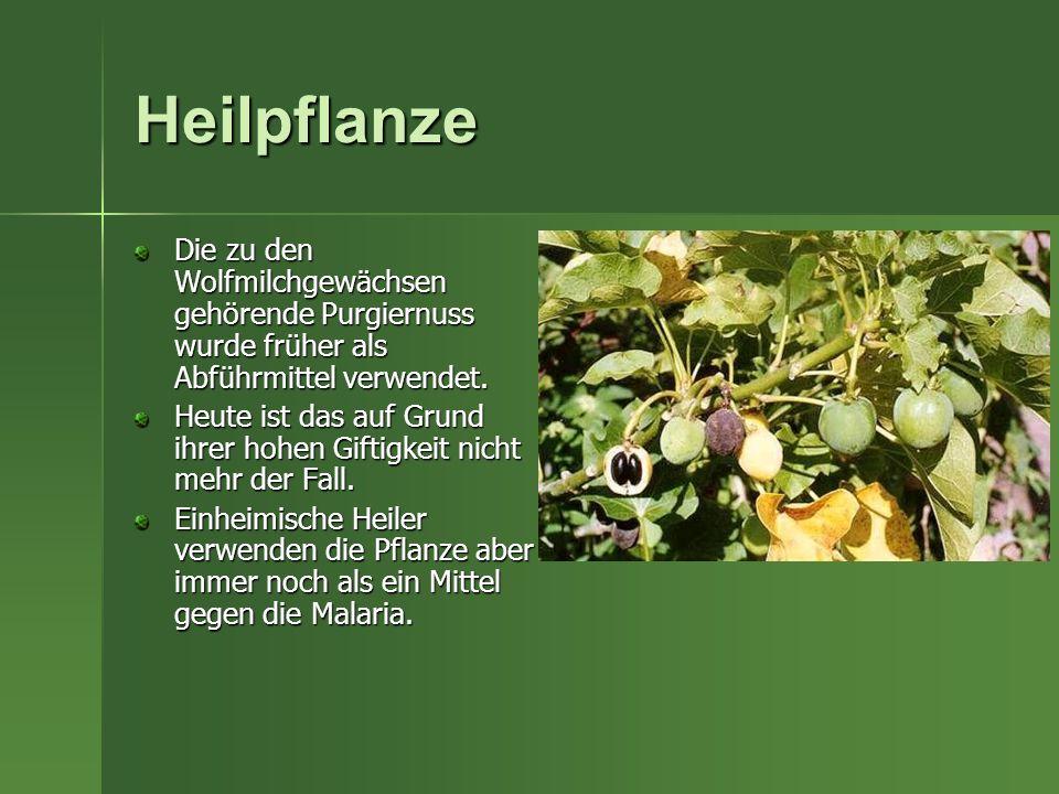 Heilpflanze Die zu den Wolfmilchgewächsen gehörende Purgiernuss wurde früher als Abführmittel verwendet. Heute ist das auf Grund ihrer hohen Giftigkei