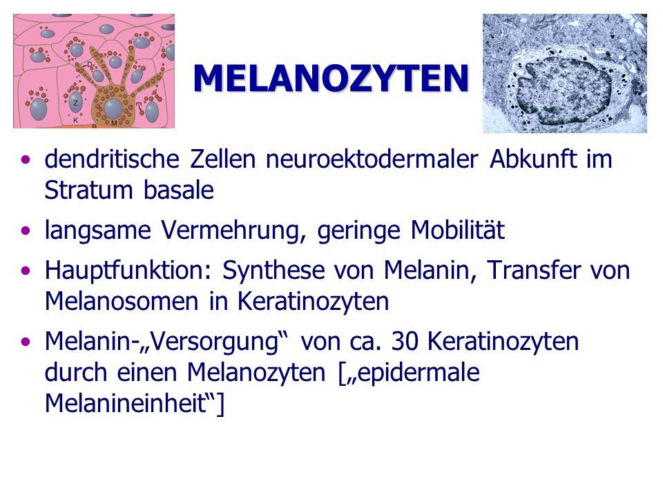 MELANOZYTEN dendritische Zellen neuroektodermaler Abkunft im Stratum basale langsame Vermehrung, geringe Mobilität Hauptfunktion: Synthese von Melanin