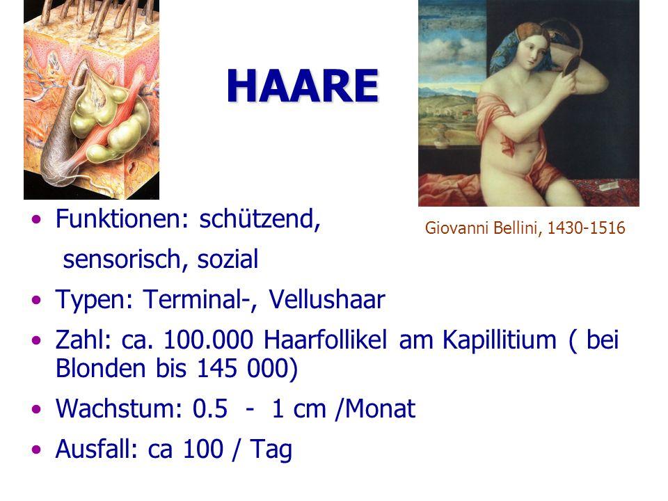 HAARE Funktionen: schützend, sensorisch, sozial Typen: Terminal-, Vellushaar Zahl: ca. 100.000 Haarfollikel am Kapillitium ( bei Blonden bis 145 000)