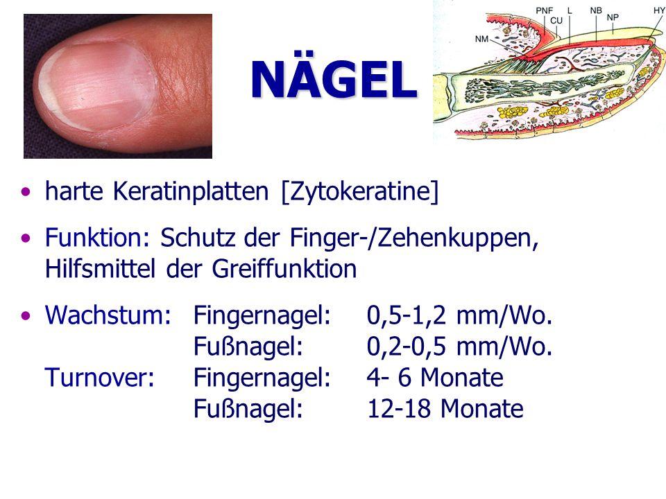 NÄGEL harte Keratinplatten [Zytokeratine] Funktion: Schutz der Finger-/Zehenkuppen, Hilfsmittel der Greiffunktion Wachstum:Fingernagel:0,5-1,2 mm/Wo.