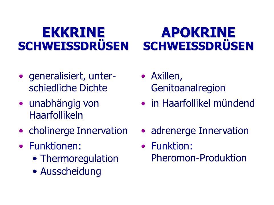 EKKRINE SCHWEISSDRÜSEN generalisiert, unter- schiedliche Dichte unabhängig von Haarfollikeln cholinerge Innervation Funktionen: Thermoregulation Aussc