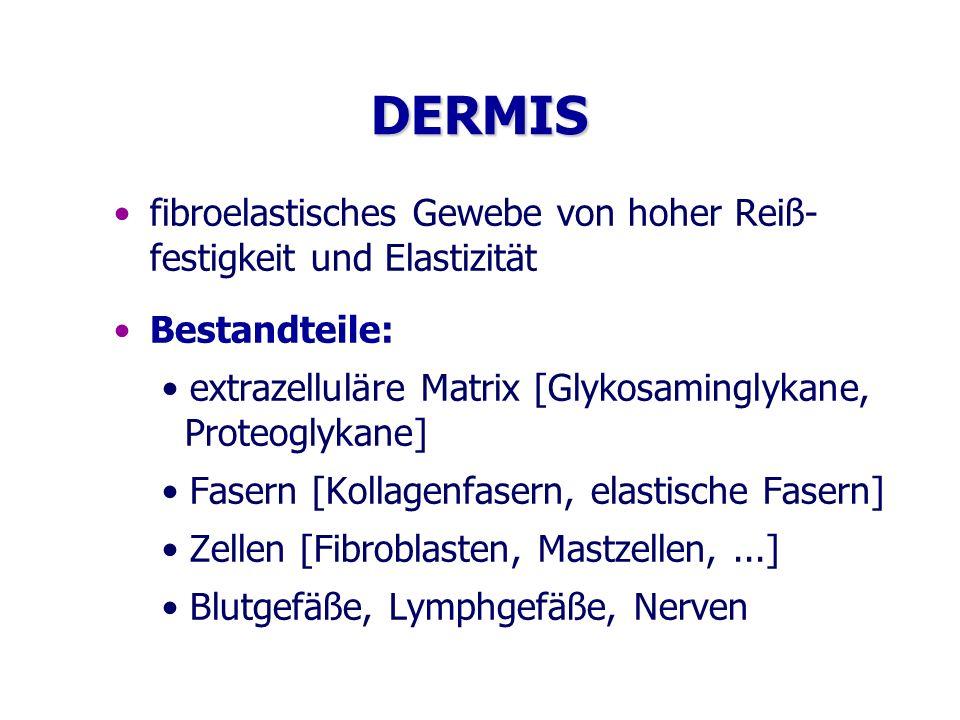 DERMIS fibroelastisches Gewebe von hoher Reiß- festigkeit und Elastizität Bestandteile: extrazelluläre Matrix [Glykosaminglykane, Proteoglykane] Faser
