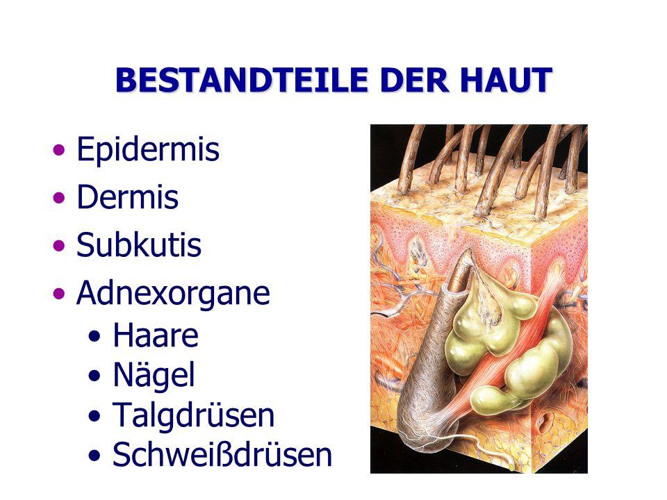 BESTANDTEILE DER HAUT Epidermis Dermis Subkutis Adnexorgane Haare Nägel Talgdrüsen Schweißdrüsen
