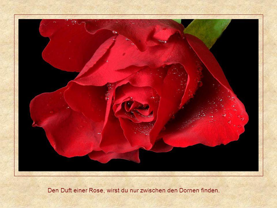Den Duft einer Rose, wirst du nur zwischen den Dornen finden.