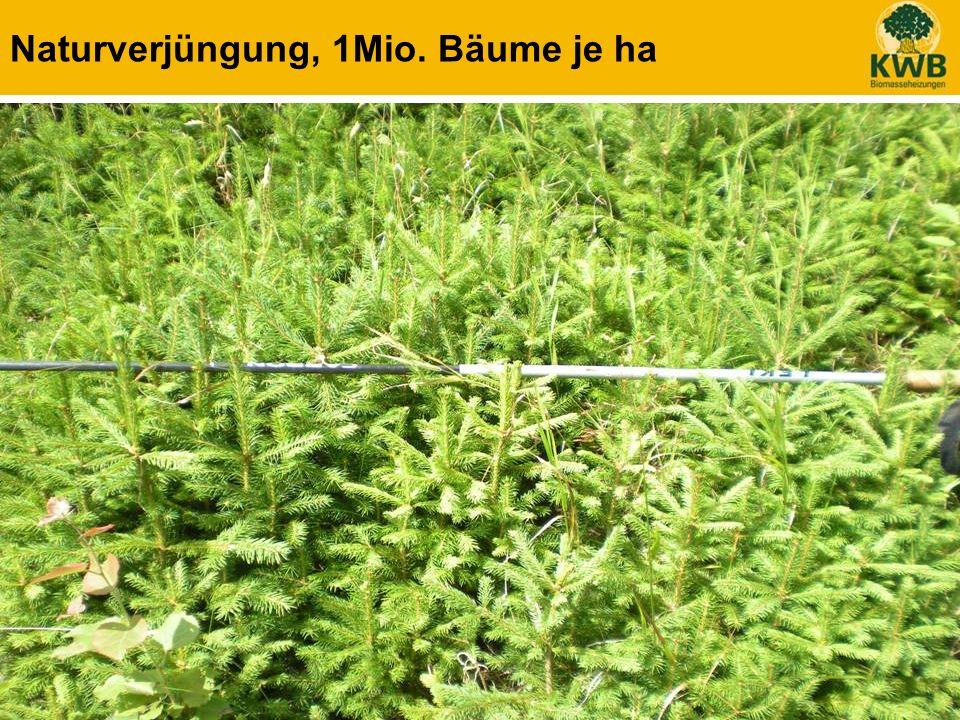 21 Naturverjüngung, 1Mio. Bäume je ha
