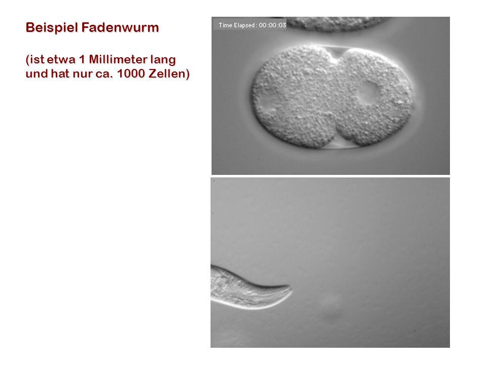 Beispiel Fadenwurm (ist etwa 1 Millimeter lang und hat nur ca. 1000 Zellen)