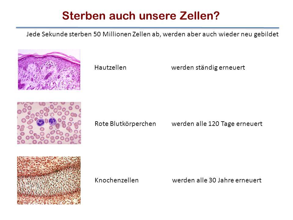 Jede Sekunde sterben 50 Millionen Zellen ab, werden aber auch wieder neu gebildet werden alle 120 Tage erneuert werden alle 30 Jahre erneuert werden s