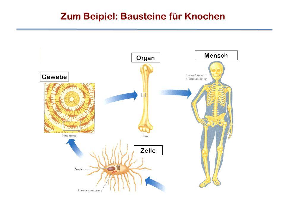 Gewebe Organ Zelle Mensch Zum Beipiel: Bausteine für Knochen