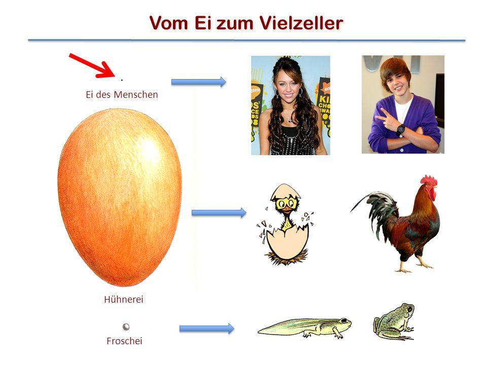 Ei des Menschen Hühnerei Froschei Vom Ei zum Vielzeller