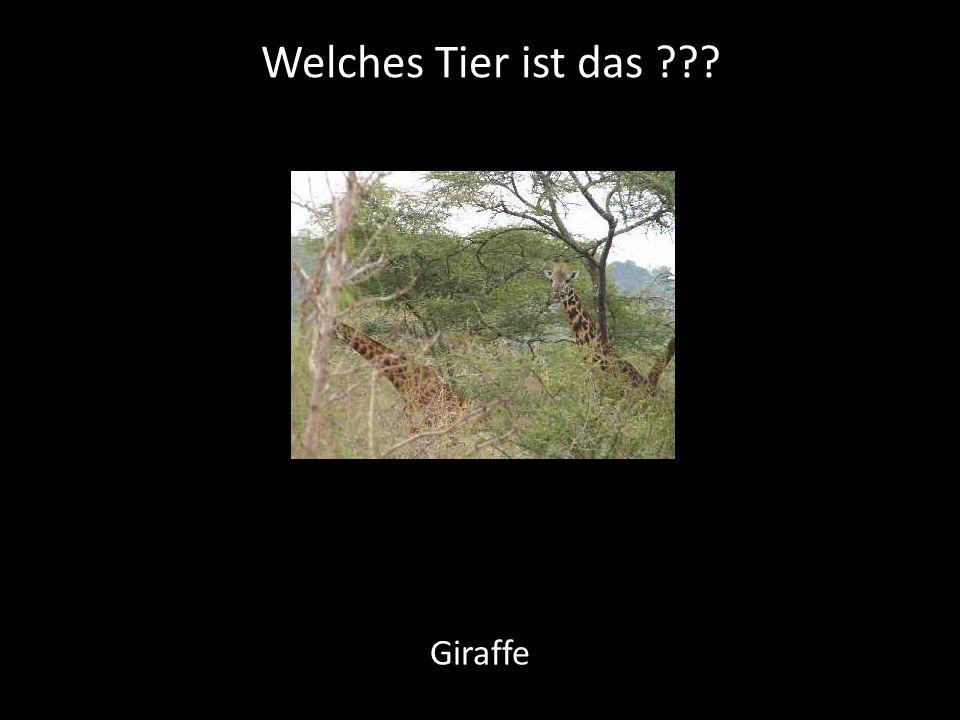 Welches Tier ist das ??? Giraffe