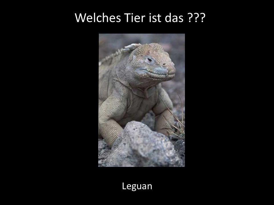 Welches Tier ist das ??? Leguan