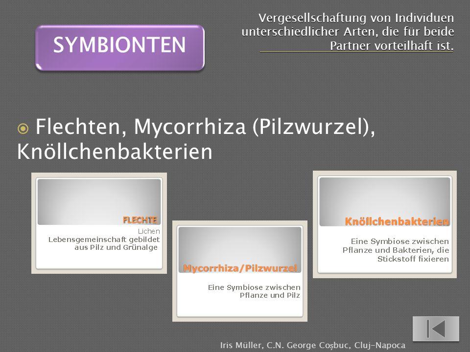 Vergesellschaftung von Individuen unterschiedlicher Arten, die für beide Partner vorteilhaft ist. Flechten, Mycorrhiza (Pilzwurzel), Knöllchenbakterie