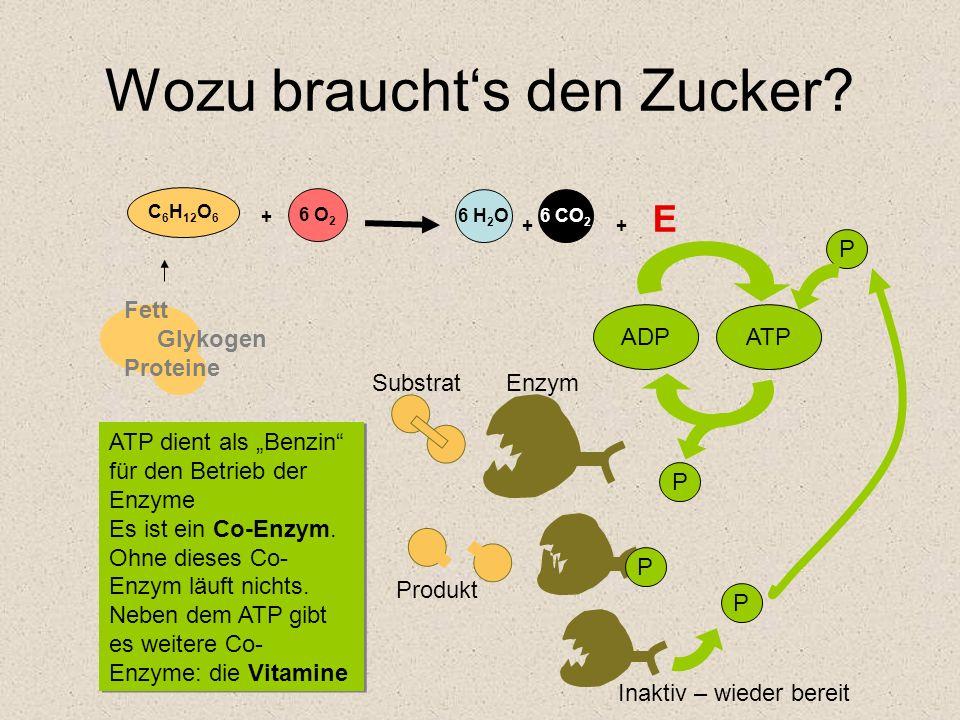 Wozu brauchts den Zucker? 6 O 2 + 6 H 2 O 6 CO 2 + + E C 6 H 12 O 6 Fett Glykogen Proteine ADPATP P P P P ATP dient als Benzin für den Betrieb der Enz
