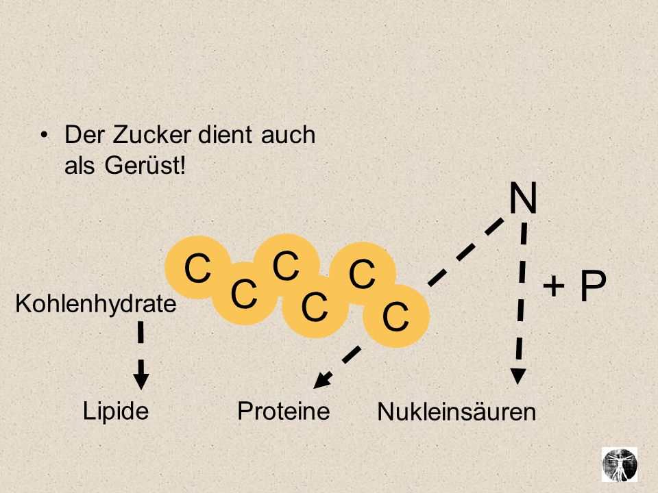 Der Zucker dient auch als Gerüst! N Proteine Lipide Nukleinsäuren Kohlenhydrate C C C C C C + P