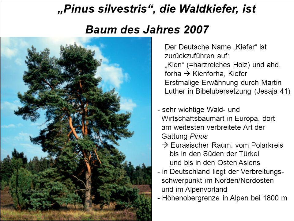 Pinus silvestris, die Waldkiefer, ist Baum des Jahres 2007 Foto: J. Tönnißen Der Deutsche Name Kiefer ist zurückzuführen auf: Kien (=harzreiches Holz)